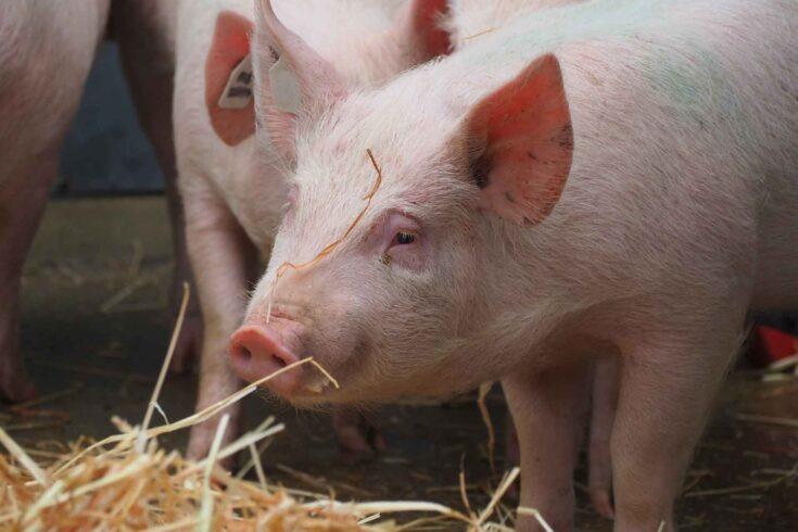 مطالعات حیوانی نشاندهنده نتایج نویدبخش یک واکسن جدید برای کووید۱۹ است